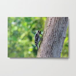 Woodpecker Hunting For Food Metal Print