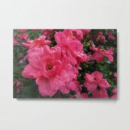 pink roses with raindrops Metal Print