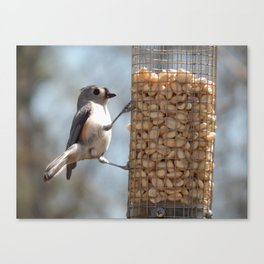 Tufted titmouse lunch Canvas Print