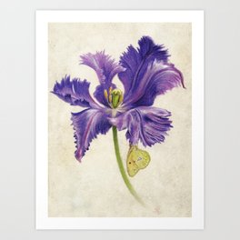 Open Purple Tulip and Butterfly Art Print