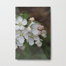 Apple blossom white and pink Metal Print