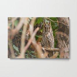 Long eared owl sitting on a tree (Asio otus) Metal Print