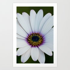 Blue Eyed Daisy II Art Print