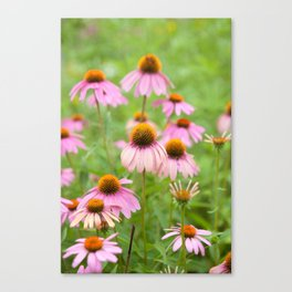 Pink Echinacea Wildflower Canvas Print