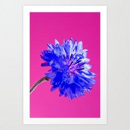 Blue fresh cornflower on the pink background Art Print