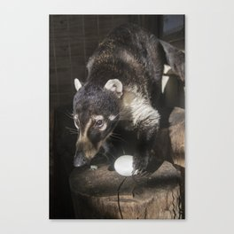 Coatimundi Canvas Print