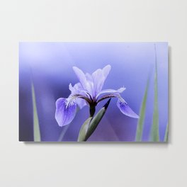 The Blue Flag Iris, full blue bloom Metal Print