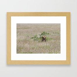 A male lion in The Serengeti Framed Art Print