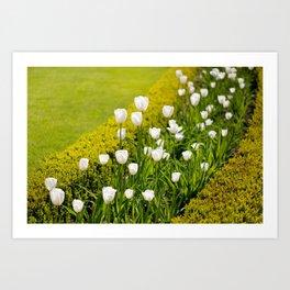 White tulips in buxus arrangement Art Print
