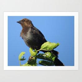 Lewiston Park, Brownheaded Cowbird Art Print
