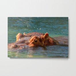 African hippo swimming in water Metal Print