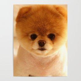 Adorable Pomeranian Puppy Poster