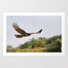Red-tailed Hawk in Flight Art Print
