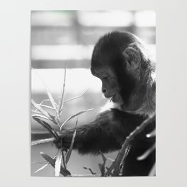 Wildlife Collection: Capuchin Monkey Poster
