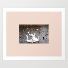 Swans 4 with other birds Art Print
