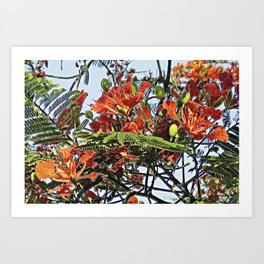 Royal Poinciana Tree Full Bloom Art Print