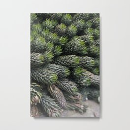 Haworthia coarctate - botanical photography Metal Print