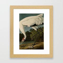Hooping Crane, Birds of America by John James Audubon Framed Art Print