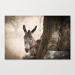 The curios donkey Canvas Print