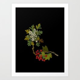 Crataegus Oxyacantha Mary Delany Delicate Paper Flower Collage Black Background Floral Botanical Art Print