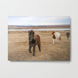 Icelandic Horses Metal Print