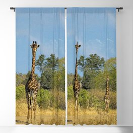 Giraffes in the Wild, Kruger national park, South Africa Blackout Curtain