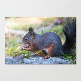 Cute eurasian red squirrel Sciurus vulgaris holding a big walnut. Arosa, Switzerland Canvas Print