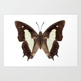 Polyura athamas athamas butterfly Art Print