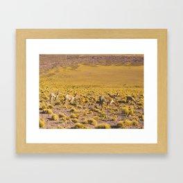 Vicuñas in the Desert, San Pedro de Atacama, Chile Framed Art Print