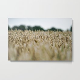 Grainfield, Shallow depth of field - Marrum - Friesland, The Netherlands Metal Print