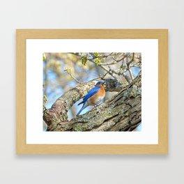 Bluebird in Tree Framed Art Print