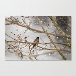 Robin Braving the Falling Snow Canvas Print