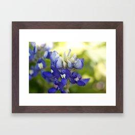 Bluebonnet Flowers in the Wild Framed Art Print