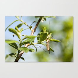 Crane fly Canvas Print