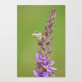 The little green frog Canvas Print