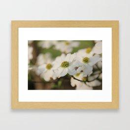 Dogwood Blossoms Framed Art Print