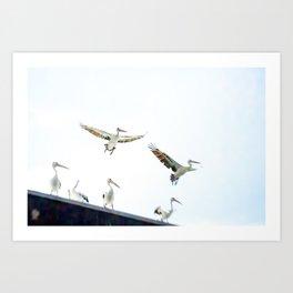 Pelicans of Woy Woy Art Print