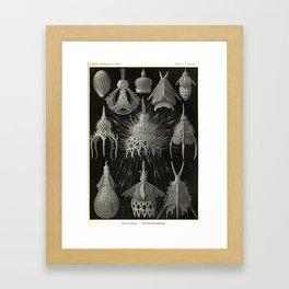 Vintage Cyrtoidea Print by Ernst Haeckel, 1904 Educational Chart Framed Art Print