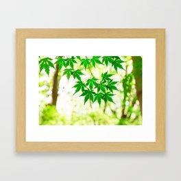 Green leaves of Japanese maple Framed Art Print