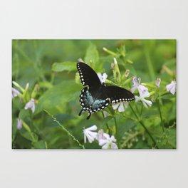 Spicebush Swallowtail II Canvas Print