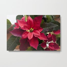 Red and Green Poinsettia Photography Print Metal Print