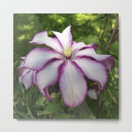 Clematis 'Betty Risdon'- Stunning two-tone flowers Metal Print