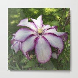 Clematis - Stunning two-tone flowers Metal Print