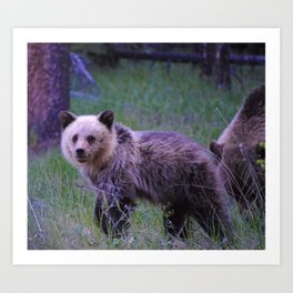Grizzly bear cub in Jasper National Park | Alberta Art Print