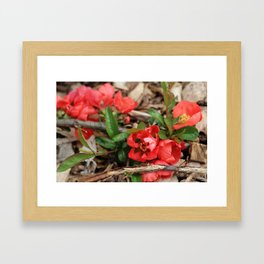 Japonica blossoms V Framed Art Print