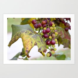 Green and purple grapes on the vine Art Print
