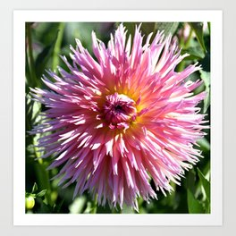 BEAUTIFUL PINK DAHLIA IN THE LATE AFTERNOON SUNSHINE Art Print