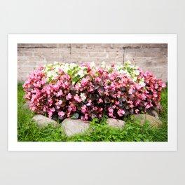 pink Begonia semperflorens clumps Art Print