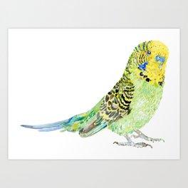 Parakeet - Budgie Art Print
