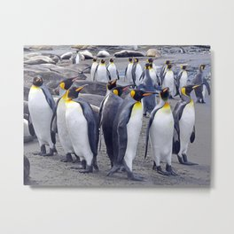 King Penguin Huddle Metal Print